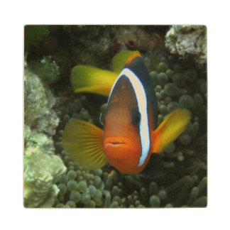 Black Anemonefish (Amphiprion melanopus) in Wood Coaster