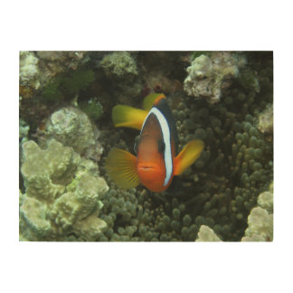 Black Anemonefish (Amphiprion melanopus) in Wood Wall Art
