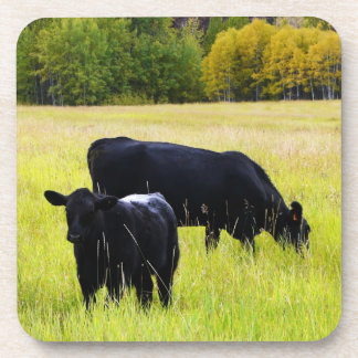 Black Angus Cattle Grazing in Yellow Grass Field Coaster