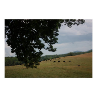 Black Angus Cows in the Carolinas Poster