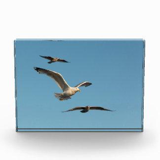 Black-backed gull acrylic award