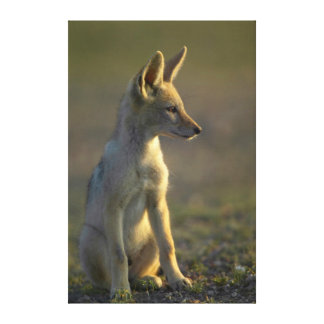 Black-Backed Jackal (Canis Mesomelas) Pup Canvas Print