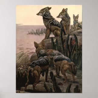 Black Backed Jackals, Vintage Wild Animals Poster