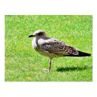 Black Beaked Sea Bird On Grass Postcard