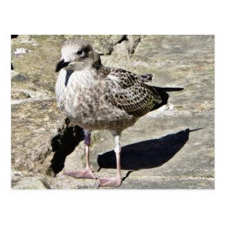 Black Beaked Sea Bird Postcard