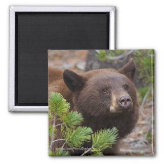Black Bear 2 Inch Square Magnet
