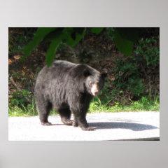 black bear posters