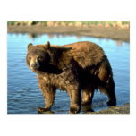 Black Bear by water Post Card