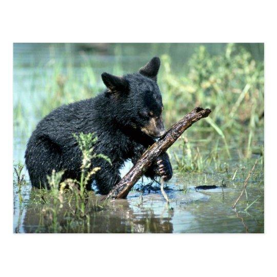 Black Bear-cub in summer marsh Postcard