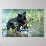 Black Bear-cub in summer marsh Posters