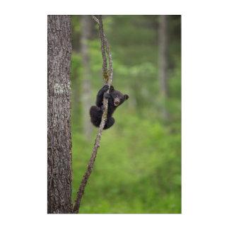 Black bear cub playing, Tennessee Acrylic Wall Art