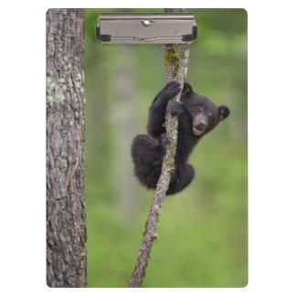 Black bear cub playing, Tennessee Clipboard
