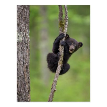 USA Themed Black bear cub playing, Tennessee Postcard