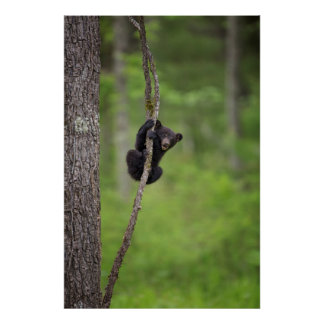 Black bear cub playing, Tennessee Poster
