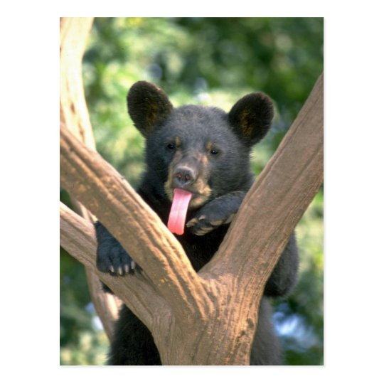 Black bear cub postcard