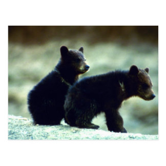 Black Bear cubs Postcard
