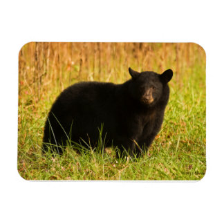 Black Bear In Fall Smoky Mountain Souvenir Magnet