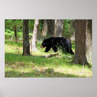 Black Bear Near Campground Poster