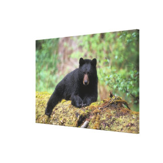 Black bear on an old growth log in the canvas print
