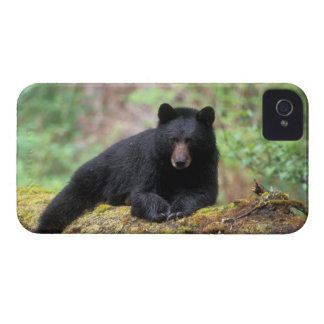 Black bear on an old growth log in the blackberry case