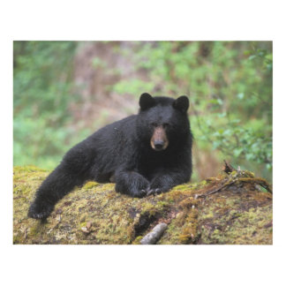 Black bear on an old growth log in the panel wall art