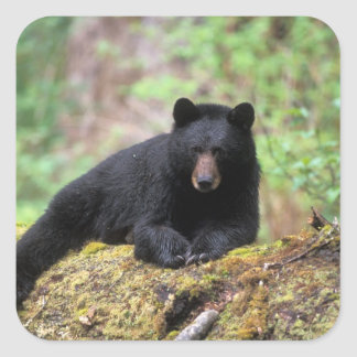 Black bear on an old growth log in the square sticker