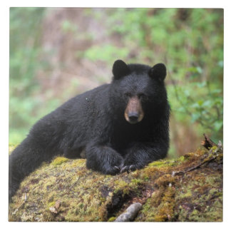 Black bear on an old growth log in the tile