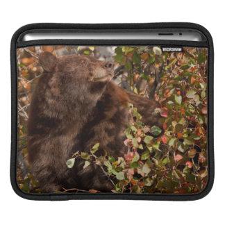 Black bear searching for autumn berries iPad sleeve
