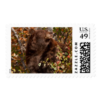 Black bear searching for autumn berries postage stamp