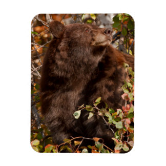 Black bear searching for autumn berries rectangular photo magnet