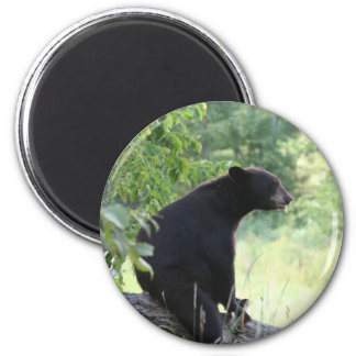 black bear sitting in tree 2 inch round magnet