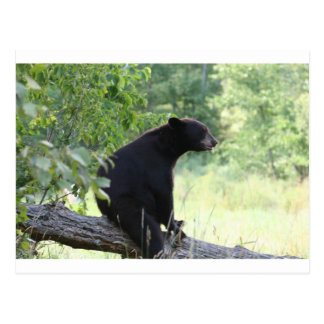 black bear sitting in tree postcard