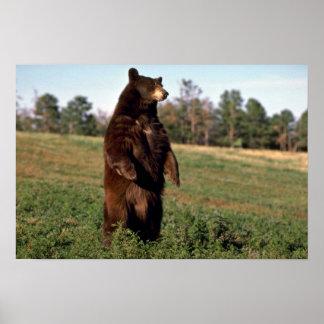 Black Bear standing erect Print