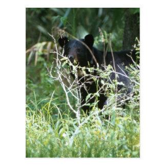 Black Bear Under Cover Postcard