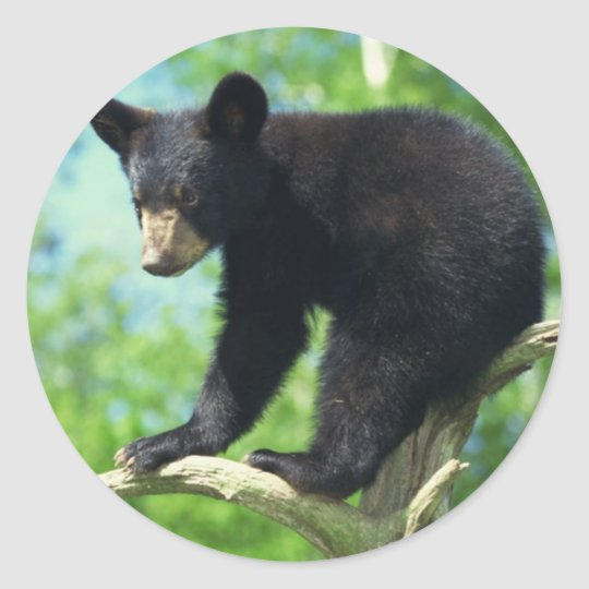 Black Bear Up A Tree Classic Round Sticker
