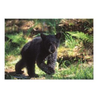 black bear, Ursus americanus, cub at Anan Art Photo
