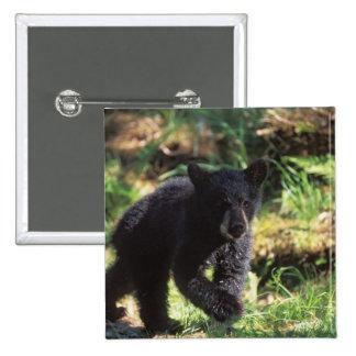 black bear, Ursus americanus, cub at Anan Pinback Button