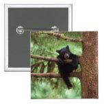 black bear, Ursus americanus, cub in a tree 2 Inch Square Button