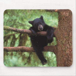 black bear, Ursus americanus, cub in a tree Mouse Pad