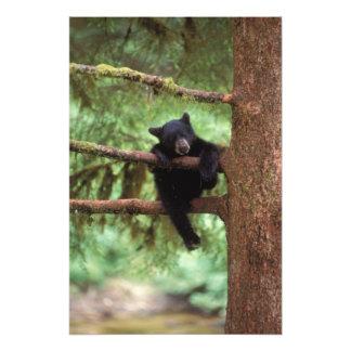 black bear, Ursus americanus, cub in a tree Photo Print