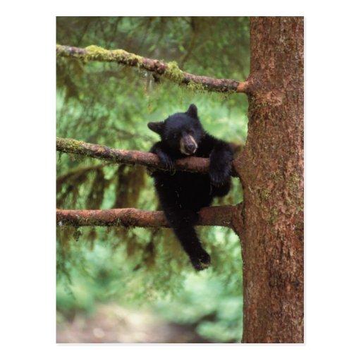 black bear, Ursus americanus, cub in a tree Post Cards