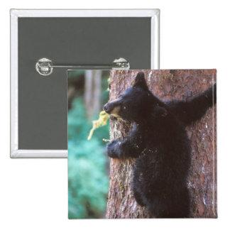 black bear, Ursus americanus, cub in tree, 2 Inch Square Button