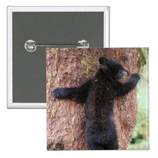 black bear, Ursus americanus, cub in tree, Anan 2 Button