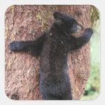 black bear, Ursus americanus, cub in tree, Anan 2 Square Stickers