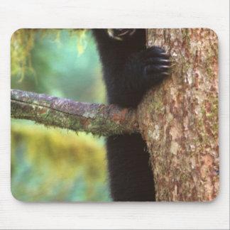 black bear, Ursus americanus, cub in tree, Anan Mouse Pad