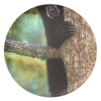 black bear, Ursus americanus, cub in tree, Anan Plate