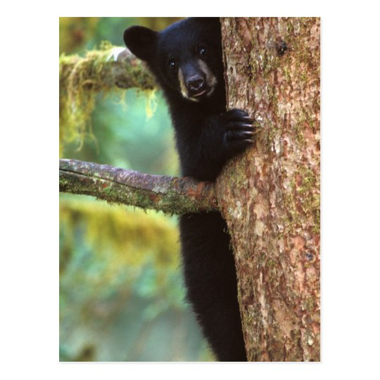 black bear, Ursus americanus, cub in tree, Anan Postcard