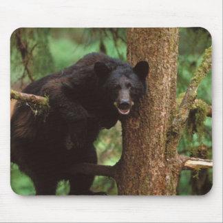 black bear, Ursus americanus, sow in a tree Mouse Pad