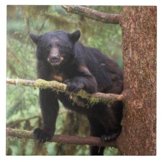 black bear, Ursus americanus, sow in tree, Anan Ceramic Tile