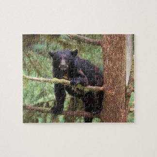 black bear, Ursus americanus, sow in tree, Anan Jigsaw Puzzle
